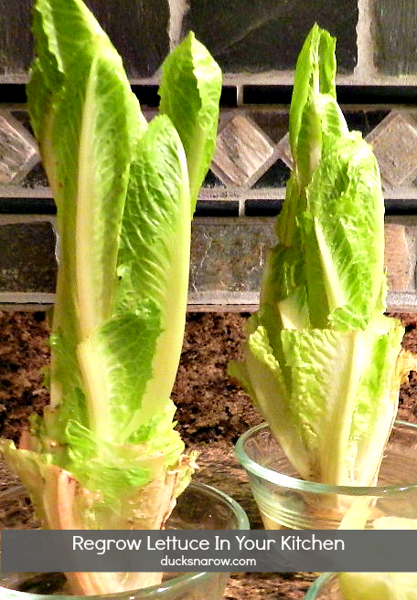 How to regrow romaine lettuce on the kitchen counter #tips