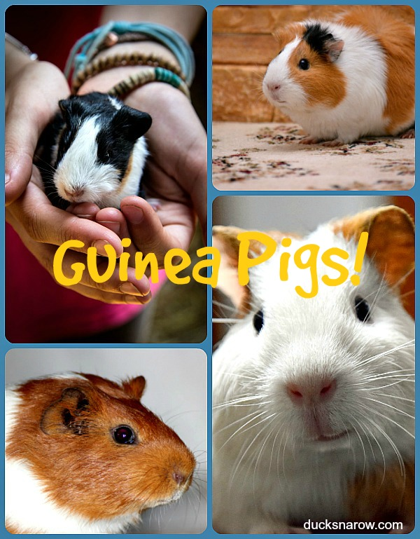 Guinea Pigs as family #pets