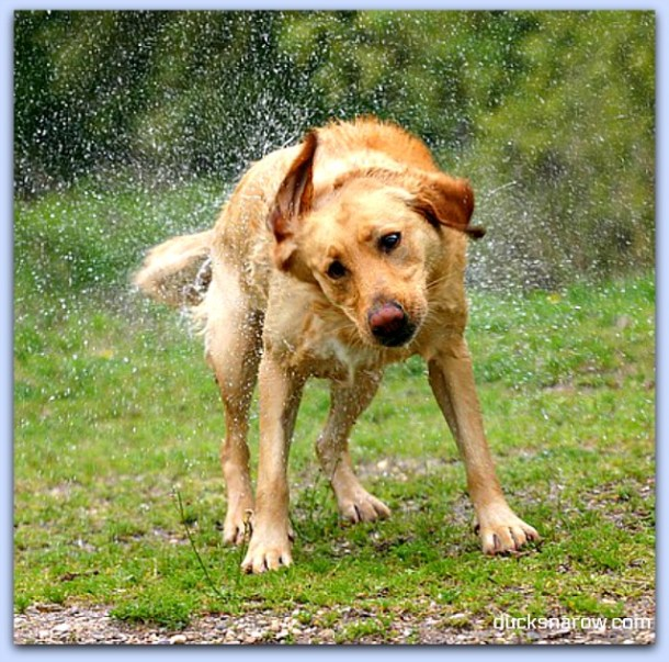 Wet dog shaking it off #dogs