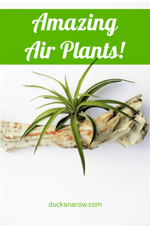 Amazing little air plants for home and office decor!