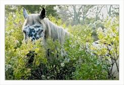 BLOG-DSC_2098-cheval blanc & baccharis plaines du Teich
