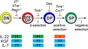 Schematic of T cell developmental stage blocked in various mutant strains/methods used in the Dudakov lab