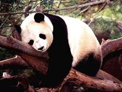 panda-bear
