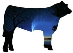 black steer