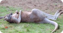 wasted kangaroo