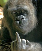 gorilla gives the finger