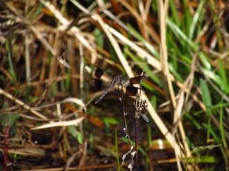 Band-Winged Dragonlet in Orlando Wetlands Park