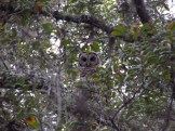 Barred Owl Looks Right at me Through the Trees in the Chuluota Wilderness Area
