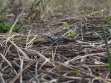 Blue Striped Garter Snake in Orlando Wetlands Park