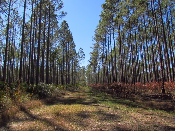 Burn-Area-Osceola-National-Forest