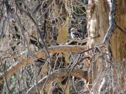 Clarks Nutcracker in Kings Canyon National Park