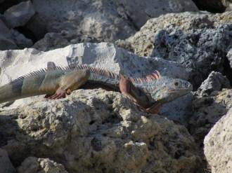 Iguana in the Florida Keys