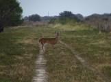 Deer in Kissimmee Prairie State Park
