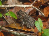 Fowler's Toad in the Ocala National Forest