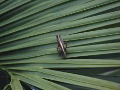 Grasshopper on Palmetto Leaf in Orlando Wetlands Park