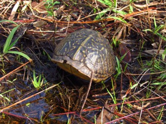 Eastern Box Turtle in its Shell in Orlando Wetlands Park