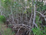 Mangrove Roots in the Florida Keys