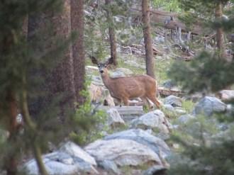 Mule Deer in Evolution Basin in Kings Canyon National Park