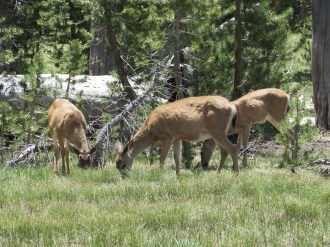 Mule Deer in Yosemite National Park