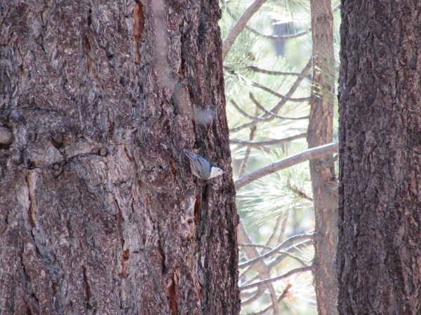 Pygmy Nuthatch in the Southern Sierra Nevada