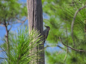 Red Bellied Woodpecker in Big Cypress National Preserve