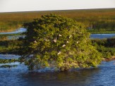 Roosting Pelicans on Lake Okeechobee