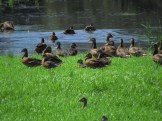 American Black Ducks in Wallkill National Wildlife Refuge, New Jersey