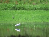 Heron Fishing in Wallkill National Wildlife Refuge, New Jersey