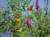 Monarch Butterfly in Wallkill National Wildlife Refuge, New Jersey