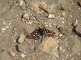 Western Checkerspot Butterfly on Mount San Gorgonio