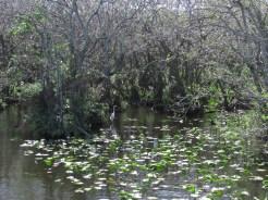 White Heron in Everglades National Park along Tamiami Trail