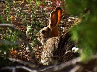 Desert Hare in Chesler Park