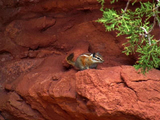 Hopi Chipmunk on Squaw Butte