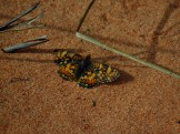 Pearl Crescent Butterfly in Horse Canyon