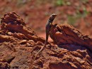 Western Collared Lizard on the Kane Springs Road