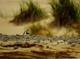 Banded Dotterel on Herangi Hill