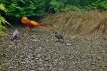 Golden Pheasant and California Quails in the Aviary at the Dunedin Botanic Gardens