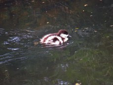 Paradise Shelduck Duckling on the KeriKeri River