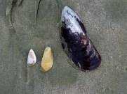 Paua Shell and Smaller Shells on Werahi Beach