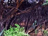 Tea Tree Trunks on Maungatiketike Point