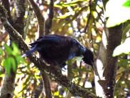 Tui Singing in the Raetea Forest