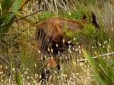Wild Boar on Herangi Hill
