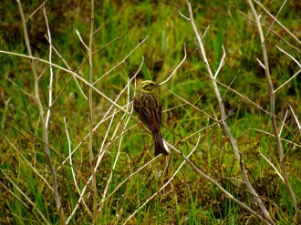 Yellowhammer on Maungatiketike Point