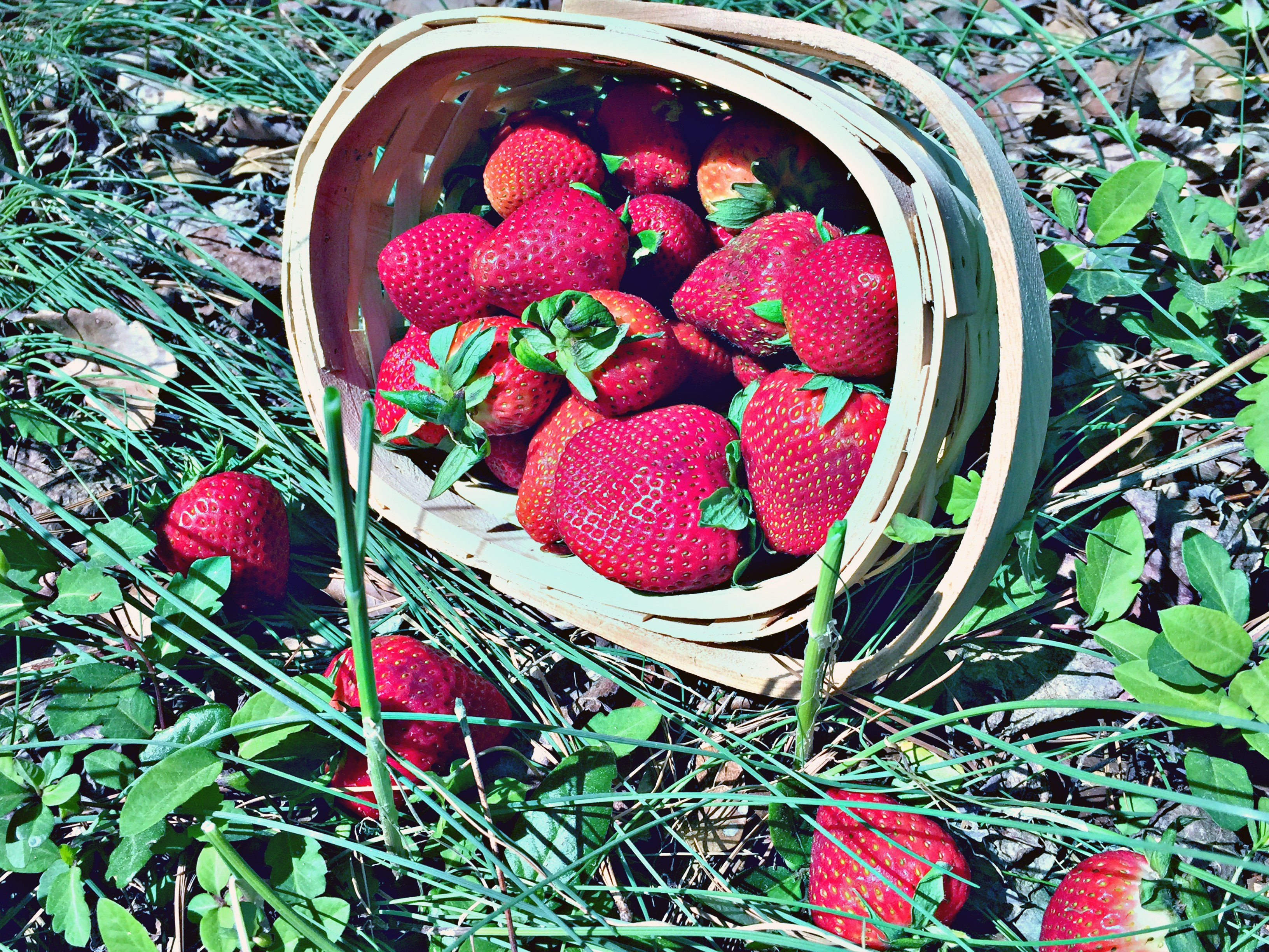 Four Best Places To Pick Strawberries In North Carolina