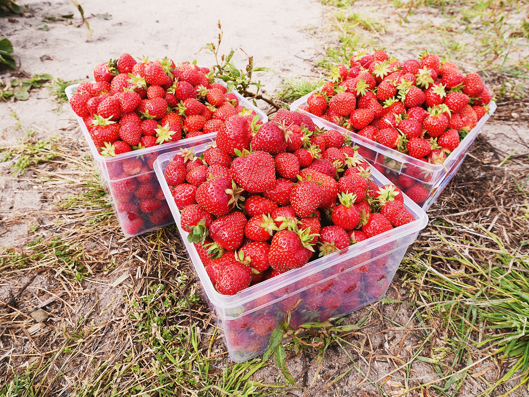 Four Best Places To Pick Strawberries In South Carolina