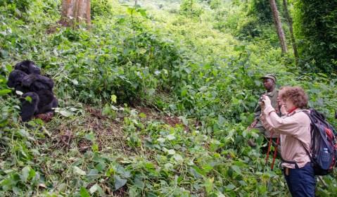 Mountain gorilla in Bwindi Impenetrable Forest