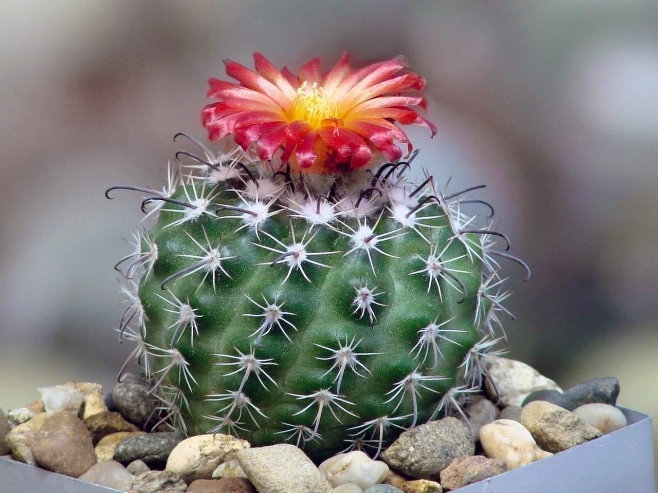такой роли самые популярные виды кактусов фото фуникулита