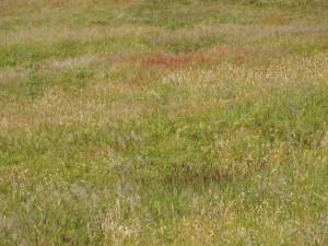 Vergrast duinroosveld na wegvallen konijnenbegrazing; Foto Ton Leentvaar