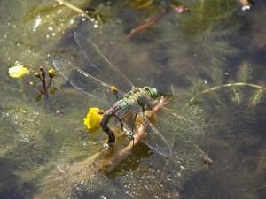 De grote keizerlibel, komt voor bij stilstaand water in een omgeving met zandgrond Deze indicatoren geven aan dat de huidige beek niet meer stroomt en ook geen kwelwater uit de duinen meer ontvangt