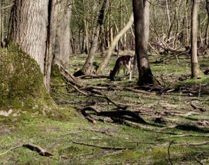 Damhert kort begraasd binnenbos, eind april 2015. Foto Mark van Til